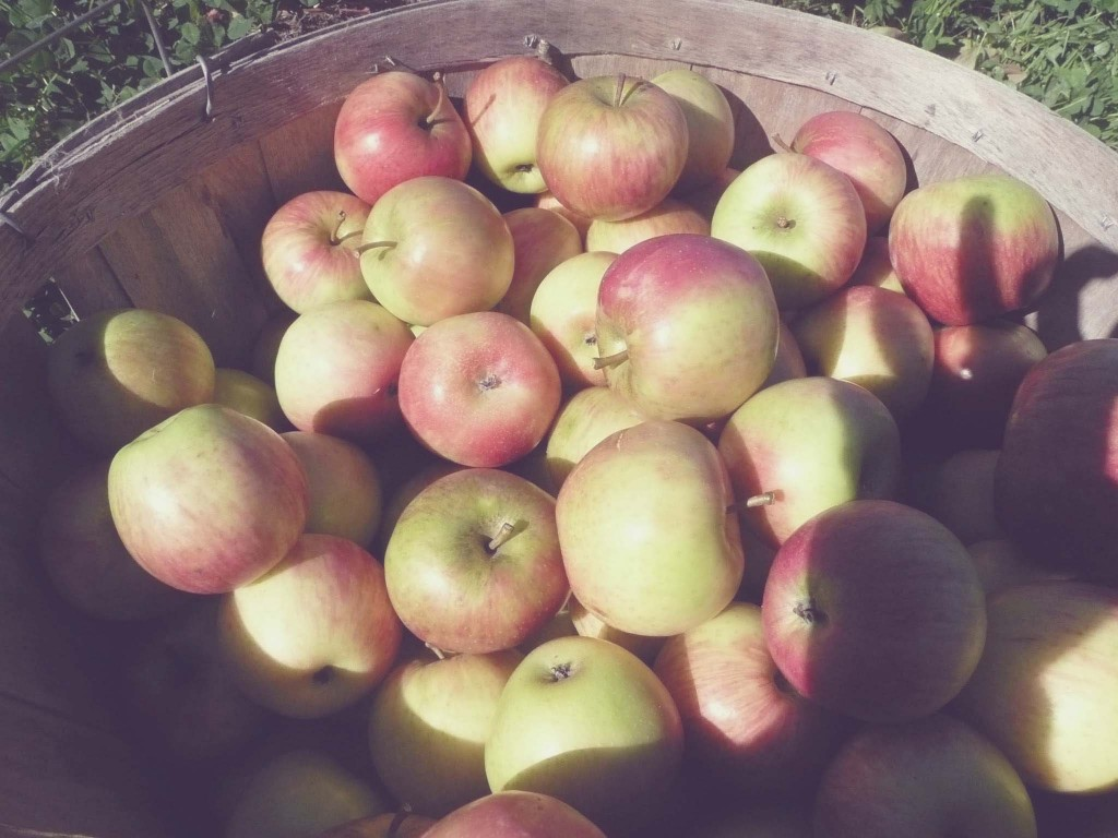Apple Picking at Old Stone Orchard
