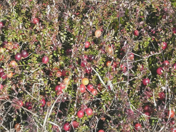 Picking Cranberries in Carver MA