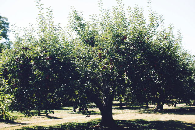Picking Apples at Rocky Brook Orchards