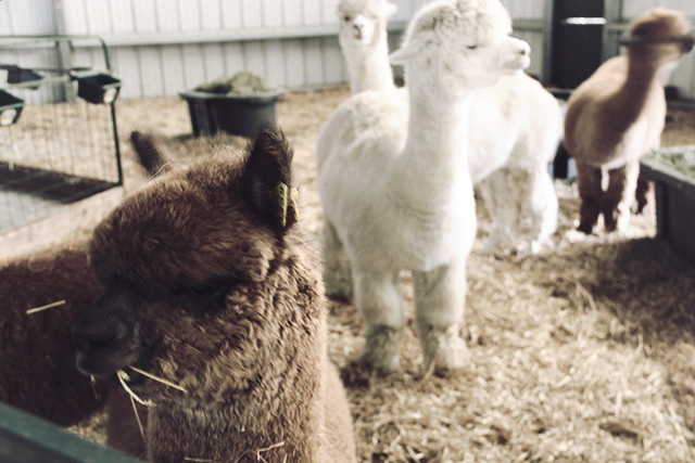 Cas-Cad-Nac Alpaca Farm Vermont