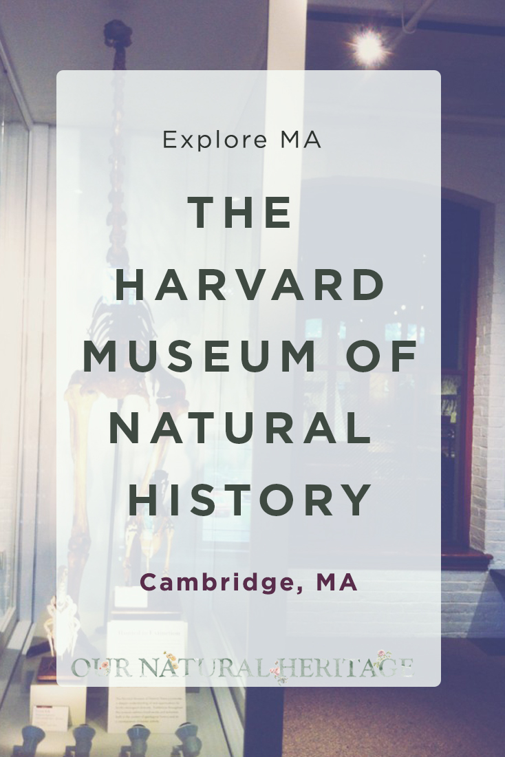 Behind the scenes of the Harvard Natural History Museum